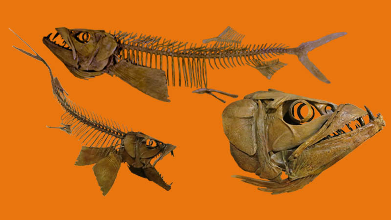 Enchodus, fossil fish restored with 3D printing